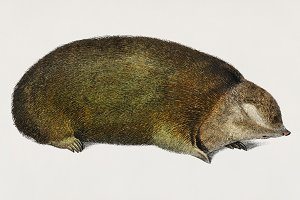 Golden mole hand drawn (PSD)