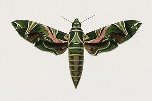 Oleander hawk-moth (PSD)