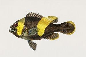 Saddleback Clownfish (PSD)