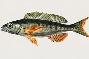 Pandoara Fish (PSD)