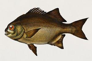 Dichistius capensis (PSD)