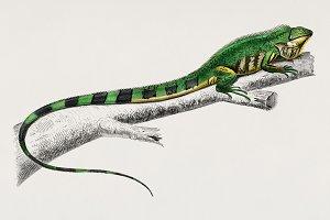 Green lizard (Iguana) (PSD)