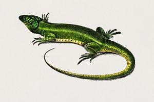 Green lizard (Lacerta viridis) (PSD)