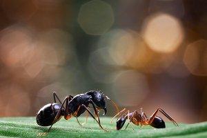 African ants Camponotus fellah