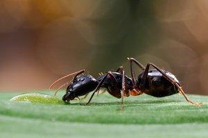 Giant African ant Camponotus fellah