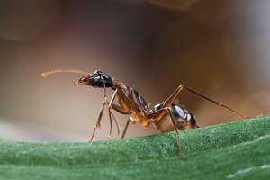 The African ant - working
