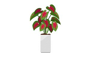 Caladium house plant in flower pot