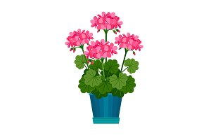 Geranium houseplant in flower pot