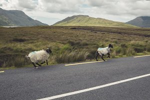 Ireland running sheep