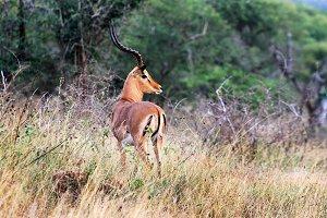 Antelope,  Africa