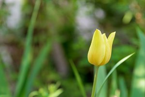 Yellow tulip flower closeup
