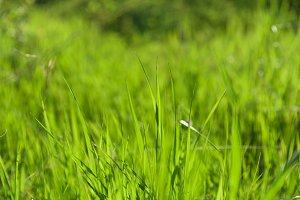 green grass natural background textu