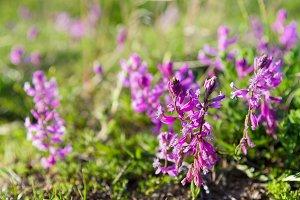 wild purple flowers closeup