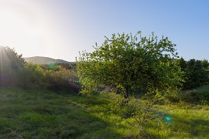 Wild Apple Tree In Sun Rays