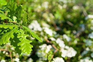 Oak green leaves white flowers