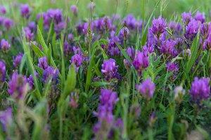 Field purple flowers closeup