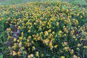Yellow meadow flowers closeup
