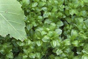 Plagiomnium medium moss