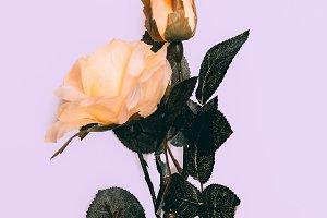 Rosa Minimal Style