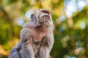 Portrait of wild sitting monkey in tropics