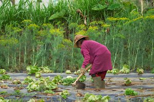 Poor old asian woman farmer working