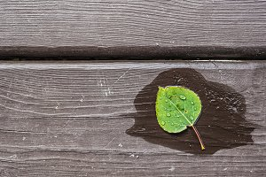 Wet Aspen Leaf on Distressed Wood