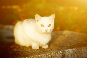 White cat with yellow eyes sitting on the grass in the sunset colors in the sunlight