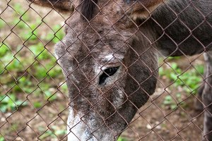 donkey behind the fence