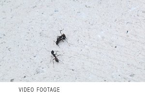 Ants' fighting. Clip 1