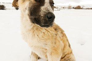 Dog mastiff puppy of Leon, Spain