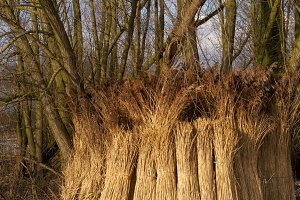 Wooded willow branches