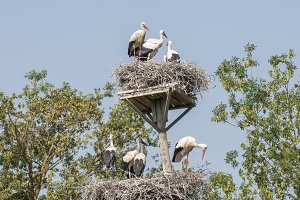 You storks in their nests