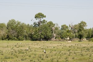 storks in their territory