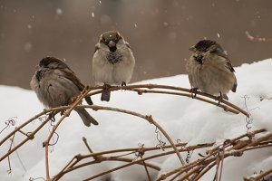 three birds in the snow