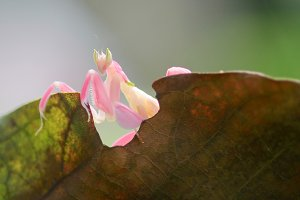 orchid mantis, macro, insect,