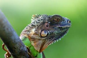 iguana, reptile, animal,
