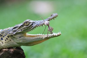 crocodile, mantis, animal,
