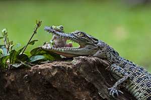 frog and crocodile