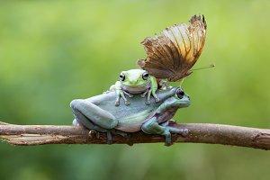 frog, dumpy frog, butterfly,