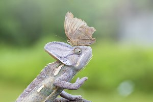 cameleon and butterfly