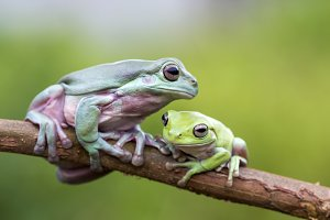 tree frog, dumpy frog, animal,