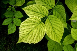 green raspberry leaves 1