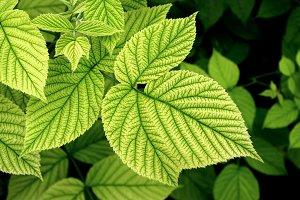 green raspberry leaves 2