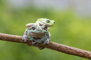 dumpy frog, tree frog, animal,
