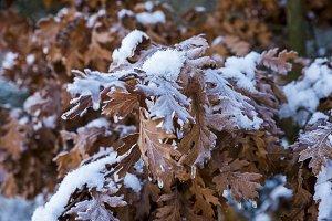 Snowy closeup leaves