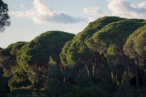 Old Mushroom Pine Forest