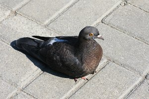 Dove pigeon bird tile outdoor photo