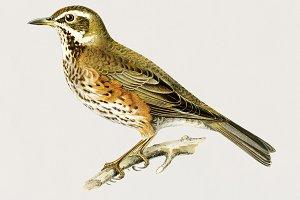Illustration of Redwing bird (PSD)