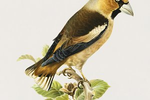 Illustration of Hawfinch bird (PSD)