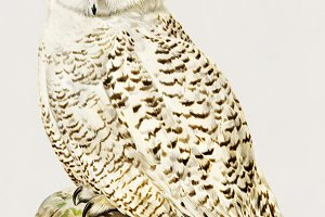 Illustration of snowy owl (PSD)